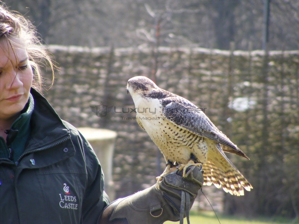 Falconry_Experiences_Leeds_Castle_Kent