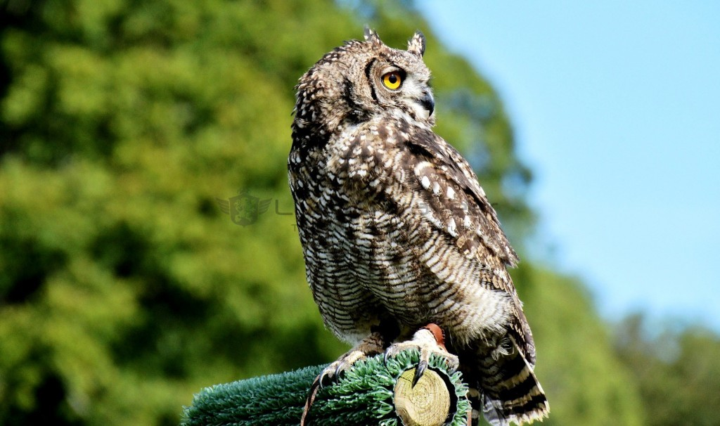 leeds_castle_owl_falconry